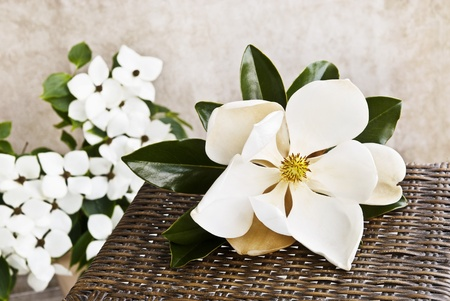 A beautiful large Magnolia bloom on a table with white Dogwood blooms in the background, shallow depth of field with copy space
