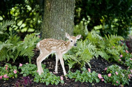 A cute little baby deer standing in a landscaped flowerbed in the shade