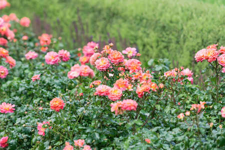 Photo for View of orange and pink spray roses that grow in a solid wall - Royalty Free Image