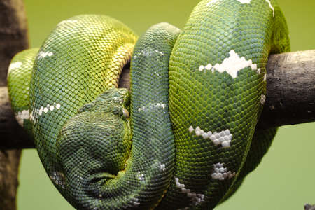 Photo pour Huge green-scale snake, Emerald tree boa, curling around a wooden stick with visible head part on green background. - image libre de droit