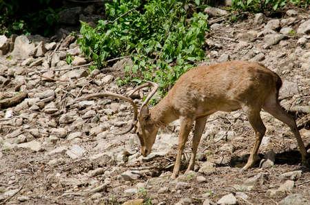 brow-antlered deer live in the zoo