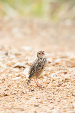 Heavy-bodied lark with large bill, short tail and wings, rather long legs. Has whitish supercilium, pale buffish-brown ear-coverts with fairly distinct streaking.