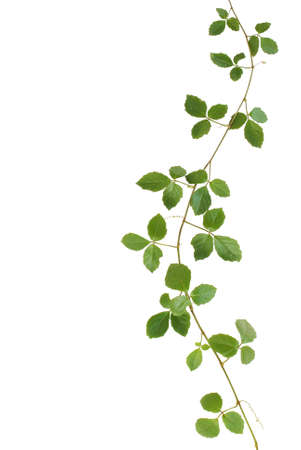 Wild climbing vine, Cayratia trifolia (Linn.) Domin. isolated on white background