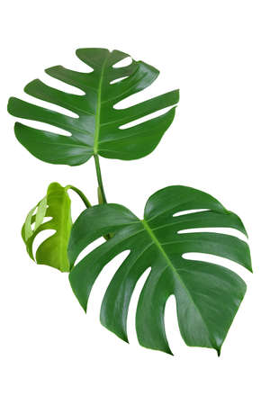 Photo pour Heart shaped green leaves of monstera or split-leaf philodendron (Monstera deliciosa) the tropical foliage plant isolated on white background, clipping path included. - image libre de droit