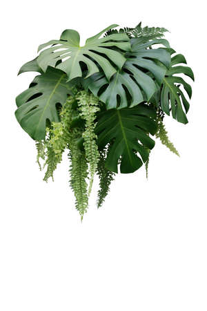 Tropical foliage plant bush of Monstera and hanging fern green leaves floral arrangment nature backdrop isolated on white background, clipping path included.の写真素材