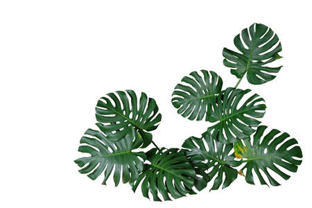 Photo for Dark green leaves of monstera or split-leaf philodendron (Monstera deliciosa) the tropical foliage plant bush nature frame border isolated on white background, clipping path included. - Royalty Free Image