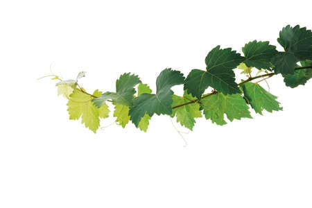 Foto für Grape leaves vine plant branch with tendrils isolated on white background, clipping path included. - Lizenzfreies Bild