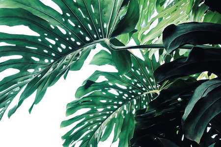 Photo pour Abstract tropical green leaves pattern on white background, lush foliage plant bush of Monstera (Monstera deliciosa) the tropic popular houseplant. - image libre de droit