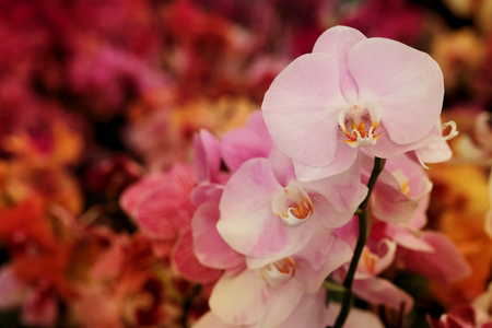 light pink Farland orchid in colorful flower garden with soft focus background. Have some space for write wording