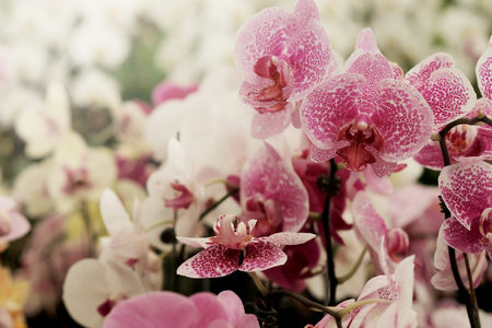 Pink texture Farland orchid in colorful flower garden with soft focus background. Have some space for write wording