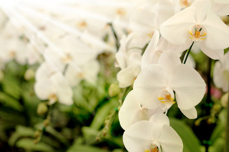 Positive feeling light white Farland orchid flower in garden with nature white tone and soft focus background. Have some space for write wording