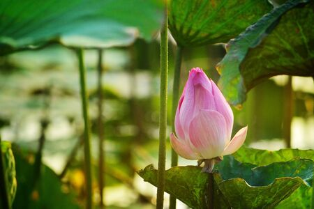 Make meditation with Indian Lotus, Sacred Lotus, Bean of India in lagoon picture  with evening light background