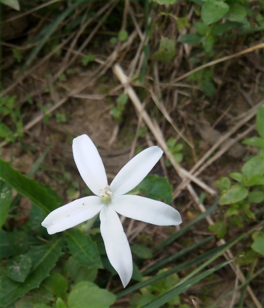 white flower which grow wildly on the outskirt