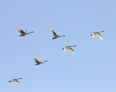Tundra swans flying in formation at twillight.