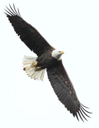Bald eagle at Conowingo %sfne8uMD, USA.
