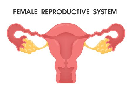 Uterus. Vector describes the system of the uterus in the female human body.