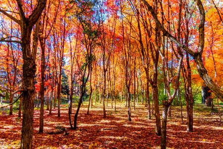 Photo pour Autumn landscape of red leaves in Nanhu Park, Changchun, China - image libre de droit