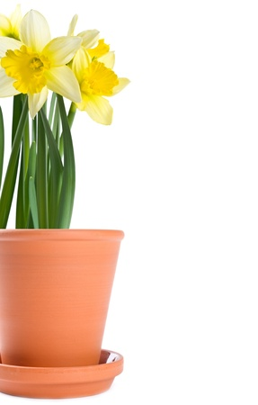 Daffodils in a Clay Planter Isolated on White