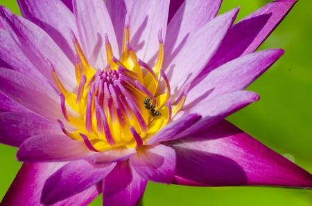 Beautiful pink lotus flower blooming. And fresh green leaves in water.