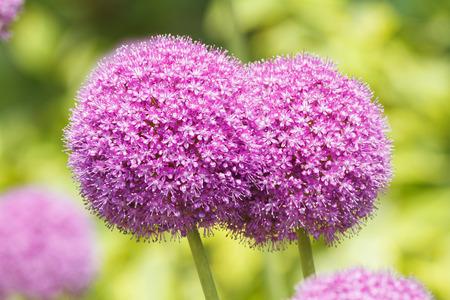 Beautiful purple Allium flowers close-up