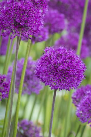 Allium (Allium Giganteum) in full flower
