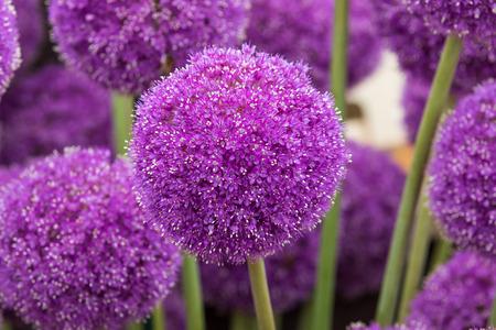 Allium( Giganteum)  in full flower