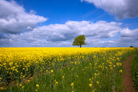 Photo for A single tree in a field of vibrant yellow oil seed rape in summer sunshine near Tetbury in the Cotswolds, Gloucestershire, UK - Royalty Free Image