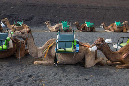 The camels lined up and resting while they wait for tourists to arrive for camel rides around Timanfaya National Park in Lazarote, Spain.