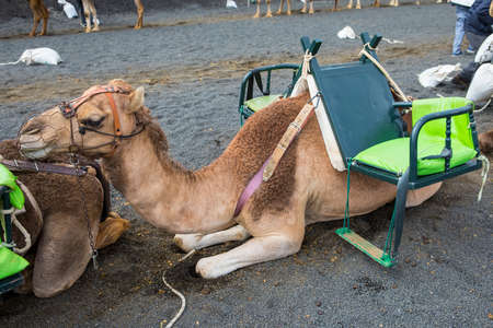 A Camel resting and waiting for tourists to arrive for camel rides around Timanfaya National Park in Lazarote, Spain.