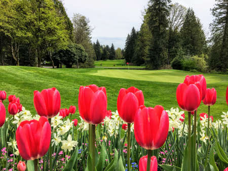 Photo for A beautiful view of a golf course with a green surrounded by evergreen forest in the background, and a garden of red tulips and daffodils in the foreground.  Perfectly manicured. - Royalty Free Image