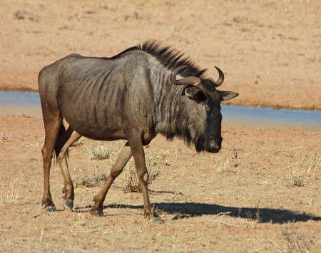 Blue wildebeest (Connochaetes taurinus) in the Kgalagadi Transfrontier Park, Kalahari desert, Southern Africa