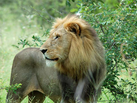 Wild male lion (Panthera leo) in Africa.