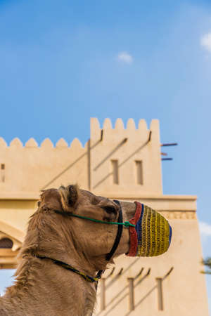 Photo pour A camel and Typical local architecture in Jumeraih Bay in Dubai UAE - image libre de droit