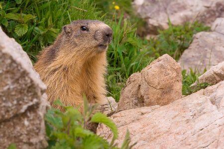 Marmotte devant son terrier