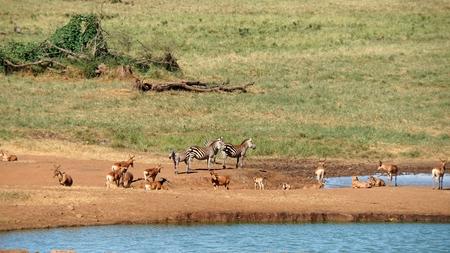 wild living impala in the savanna of kenyan national park