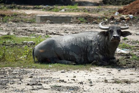 huge old water buffalo in a muddy puddle