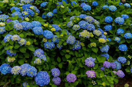 Photo for Beautiful blue and purple Flowers (Hydrangea macrophylla) or Hortensia flower is blooming. - Royalty Free Image