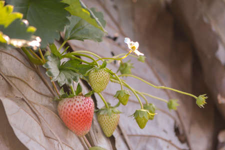 Strawberry is The flower clan in the rose . The fruit can be eaten . In the past, plant for cover crop to plant tree. This could be the source of it name.