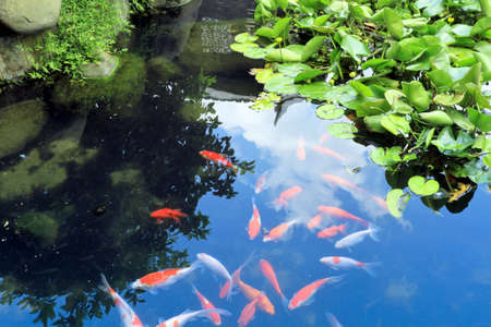 beautiful koi in the pond on traditional garden