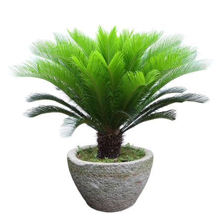 sago cycad tree in a stone mortar isolated on white