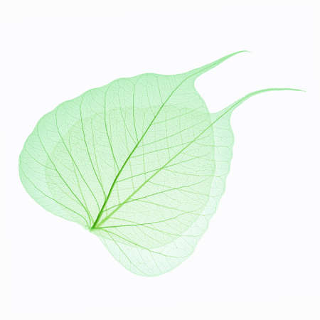 two green leaves vein isolated on white backgroundの写真素材