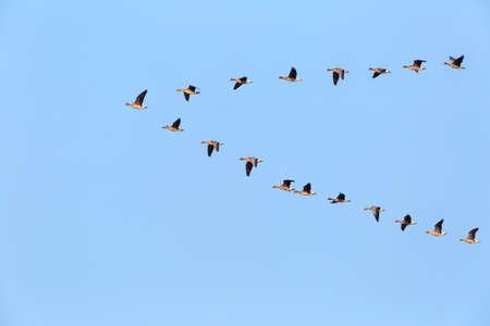 Foto de flock of wild geese flying in v-shape on blue sky - Imagen libre de derechos