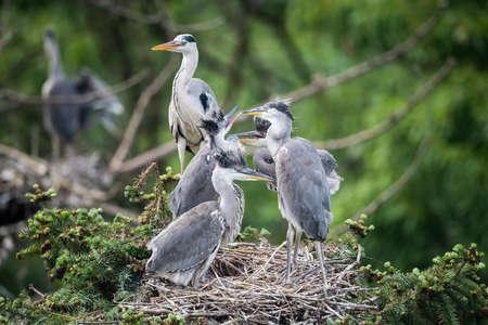 Foto de grey heron family closeup in the nest,  ardea cinerea - Imagen libre de derechos