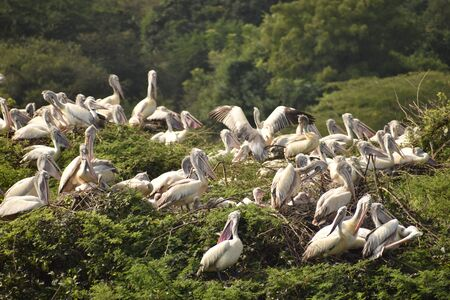Foto de group of beautiful pelican and it's babies sitting on the tree, on the lake, in india and also we can see other white cranes. - Imagen libre de derechos