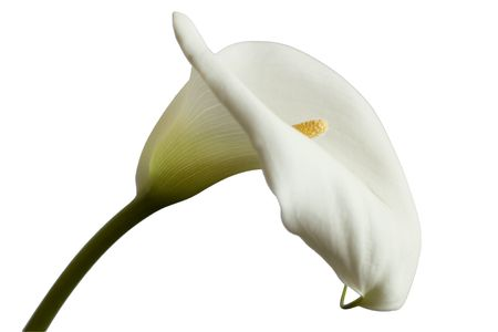 White Calla flower  isolated on bright background