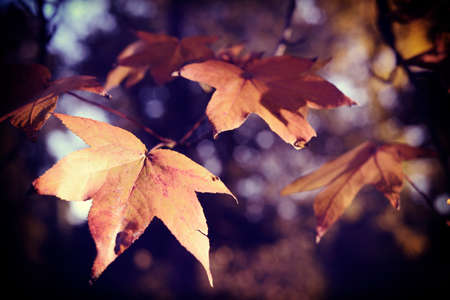 Photo pour Fall season foliage close up of tree branch and leaves with soft blur background. - image libre de droit