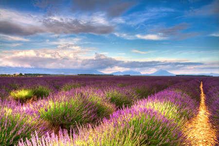 Lavender fields on the Valen