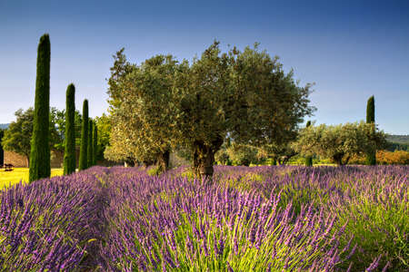 Lavender and Olive Trees, Provence, France