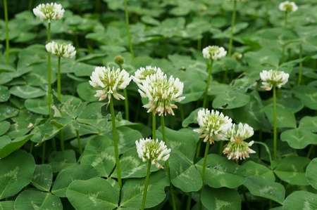 clover blooming