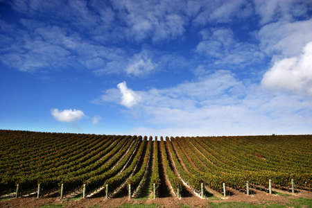 Vineyard with grape vines on fine day - Landscape